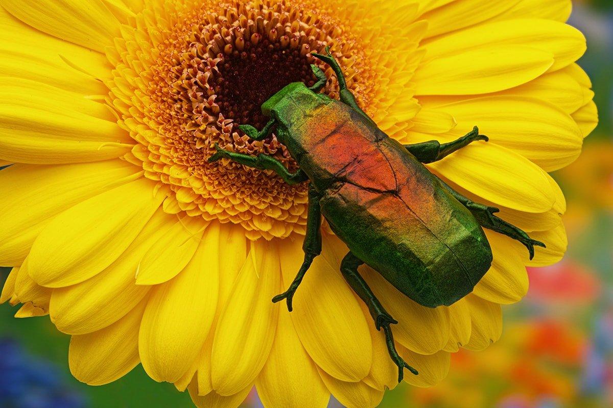 Japanese Drone Beetle