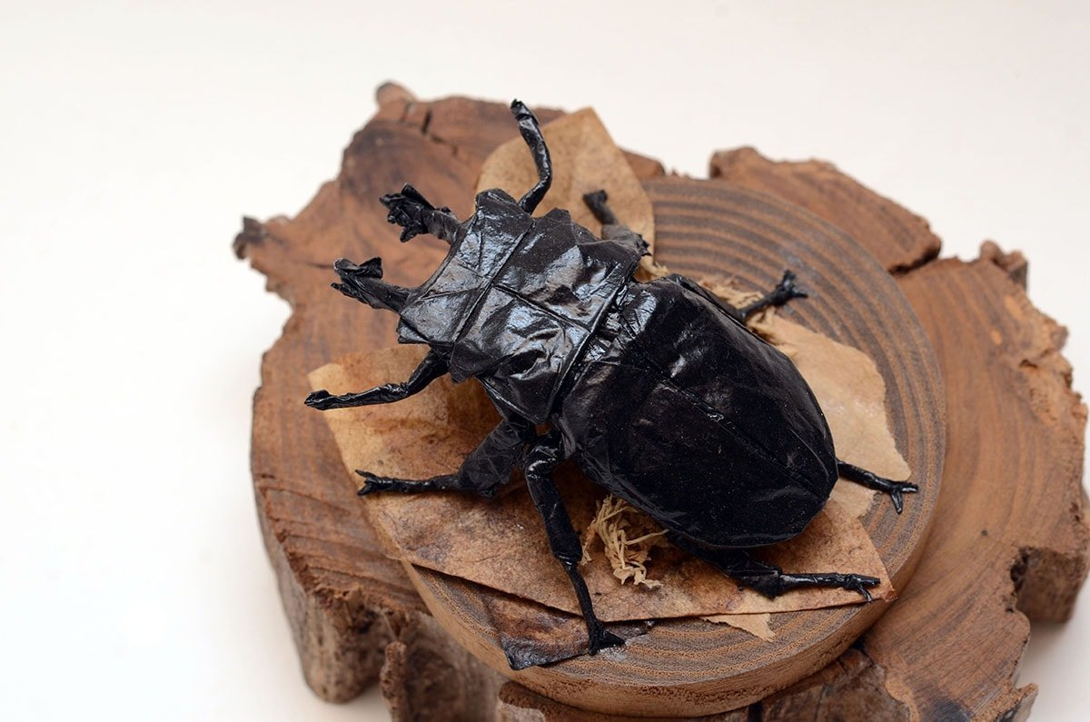 Okinawa Stag Beetle